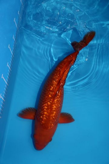 "Gin Rin Chagoi-Koi For Sale 16"" 2394"